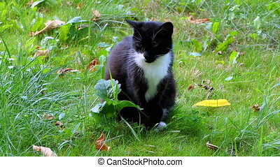 a Black And White Cat Sitting on a Green Lawn in Summer in Slow Motion