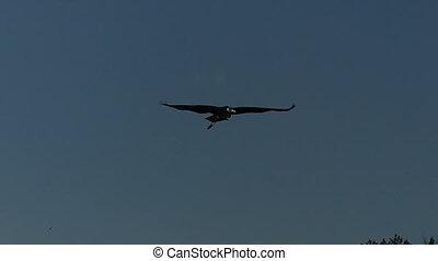A black and white crane soaring in the dark sky in slo-mo