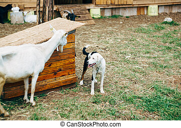 A black and white dog on a chain near a booth in the yard with goats.