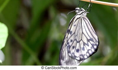 A black and white striped butterfly is hanging on a branch