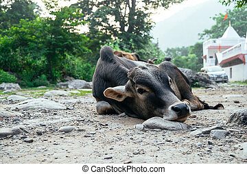 A black cow looking at the camera and resting on the ground.