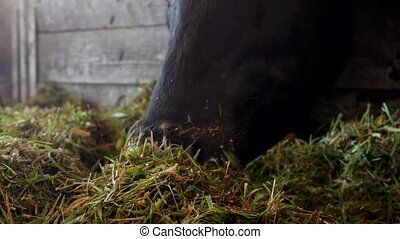 A black cow stands in a barn and eats grass silage,...