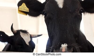 A black cow stands in a stall and looks at the camera and...