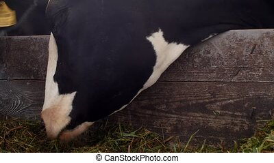 A black cow with white spots stands in the barn and eats...