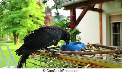 A black crow digging up worms. raven. - young black crow...