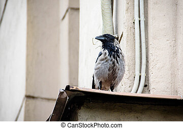 A black crow sits on the wall of a house against the background of the city..