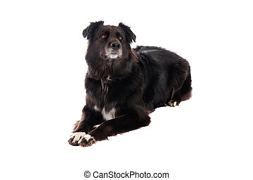 A black dog laying down - A black German Shephard / Boarder ...