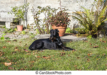 A black dog lying in the garden
