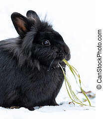 A black dwarf rabbit sitting in the snow and eating grass