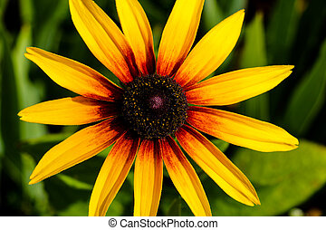 A Black-eyed Susan. Rudbeckia hirta flower in the midst.