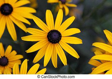 Black-eyed Susan - A Black-eyed Susan (Rudbeckia hirta)...
