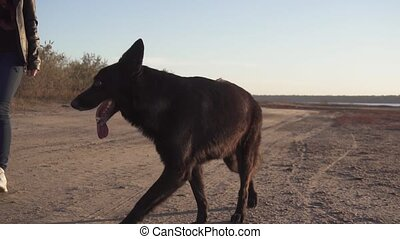 A black german shepherd dog is going forward by her mistress...