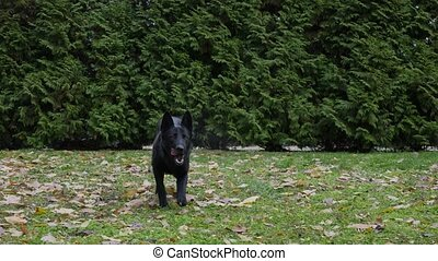 A black German shepherd stands in full growth in an autumn park. The dog takes a few steps forward and lies down on the green grass, sprinkled with fallen leaves. Close up. Slow motion