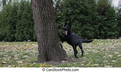 A black German shepherd walking in an autumn park ran up to a large tree. Leaning on the trunk of a tree with its forepaws, the dog stands on its hind legs with its tongue out. Slow motion. Close up