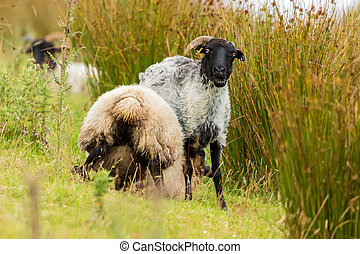 A black headed sheep looking at me
