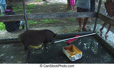 A black pig in the cage - A full shot of a black pig eating...