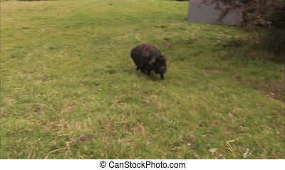 A black pig running on the field freely - A black piglet...