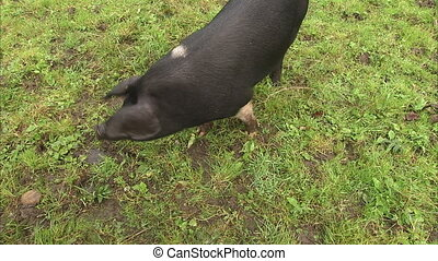 A black pig walking freely - An over the tope medium shot of...