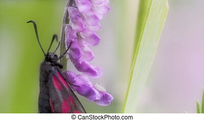 A black pink-red spotted butterfly hanging on the stem