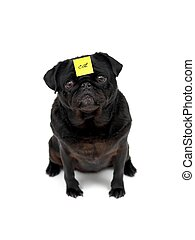 Pug - A black Pug isolated against a white background
