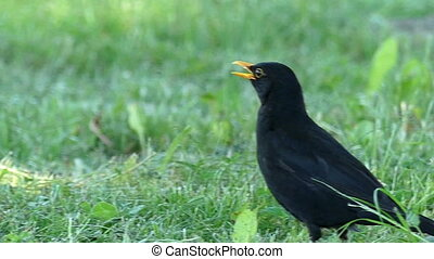 A black rook stands in profile on a green lawn in summer -...