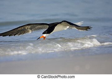 A Black Skimmer fishing along the beach and shoreline
