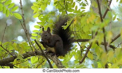 A black squirrel eats some food on a tree branch in slo-mo