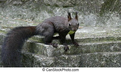 A black squirrel sits on granite steps of a monument in slo-mo