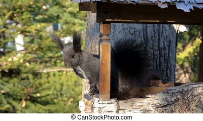 A black squirrel with a fluffy tail and a white triangle on ...