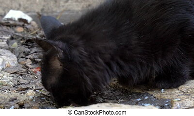 A black stray cat picks up leftover food from the floor. A...