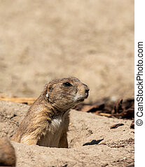 A black tailed prairie dog standing in its hole