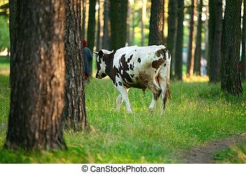 A black-white cow