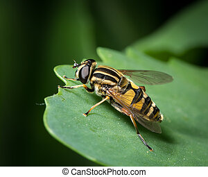 A black yellow hoverfly sitting on a green leaf
