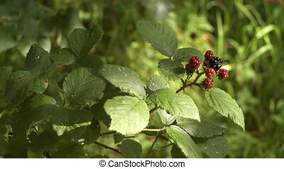 A blackberry plant with maturing berries - A blackberry bush...