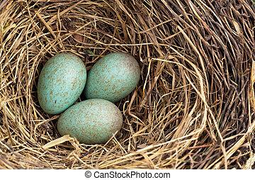 a blackbird eggs in a bird's nest - the eggs of a blackbird ...