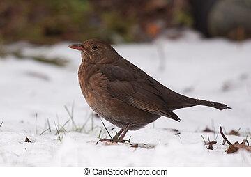 A blackbird in the snow