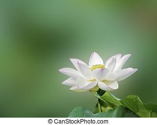 bloom lotus - a bloom lotus in summer
