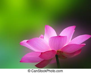 a bloom lotus in summer