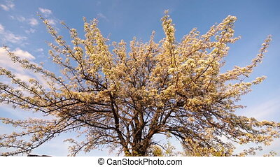 A blooming apple tree illuminated by evening sun. - A...