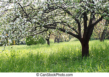 apple tree - A blooming branch of apple tree in spring