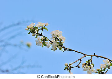 A blooming branch of apple tree.