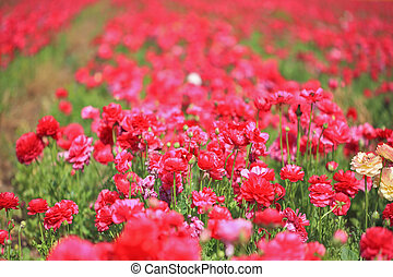 A blooming red buttercups