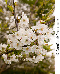A Blossoming Bunch of White Flowers on A tree in Spring
