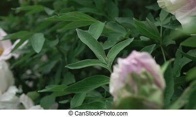 A blossoming bush with close-up pink peony flowers shot in...