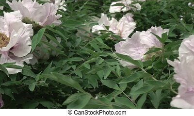 A blossoming bush with pink close-up peony flowers shot in...