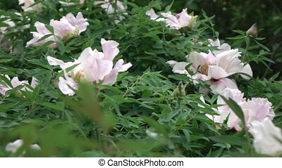 A blossoming bush with pink large peony flowers shooting in...