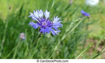 A blue field flower in a field on a windy day in summer