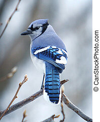 Blue Jay Bird in Tree