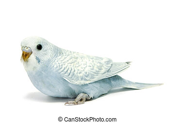 a blue parakeet breeding isolated on a white background