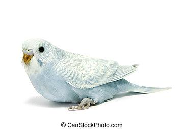 parakeet breeding - a blue parakeet breeding isolated on a ...